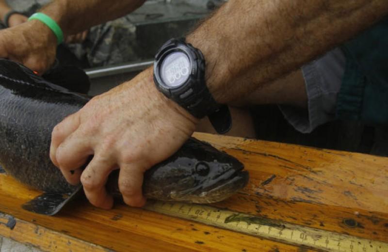 Τρόμος από το ψάρι Φρανκενστάιν! Έχει κεφάλι φιδιού – video
